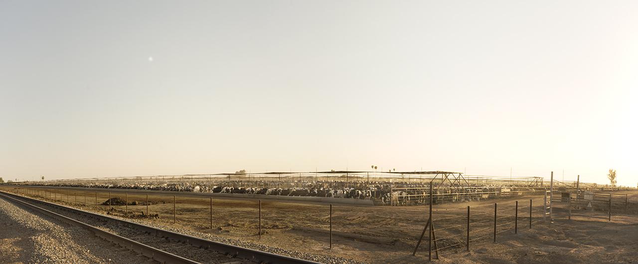 Feedlot 111 Degrees Fahrenheit, 2015 - 38,500 Cows