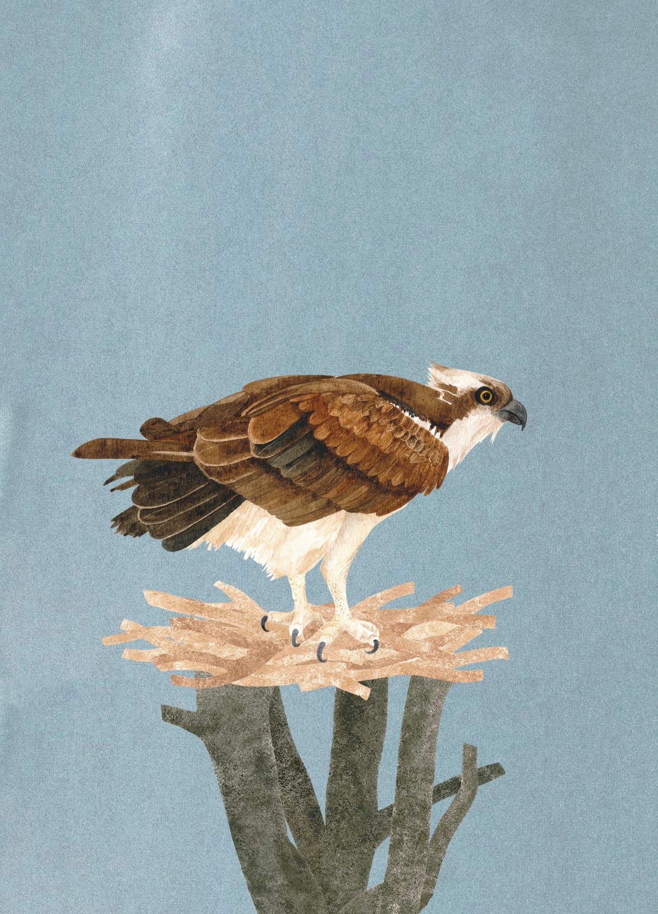 Otto's Osprey   Francesca Chalk ©