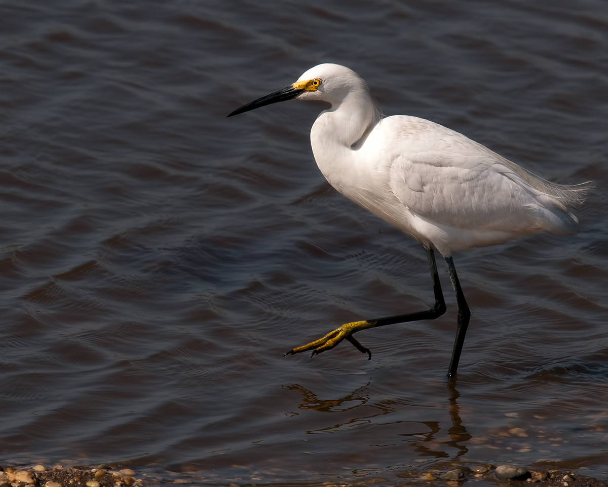 Snowy Egret walking through the marsh at Forsythe National Wildlife Refuge
