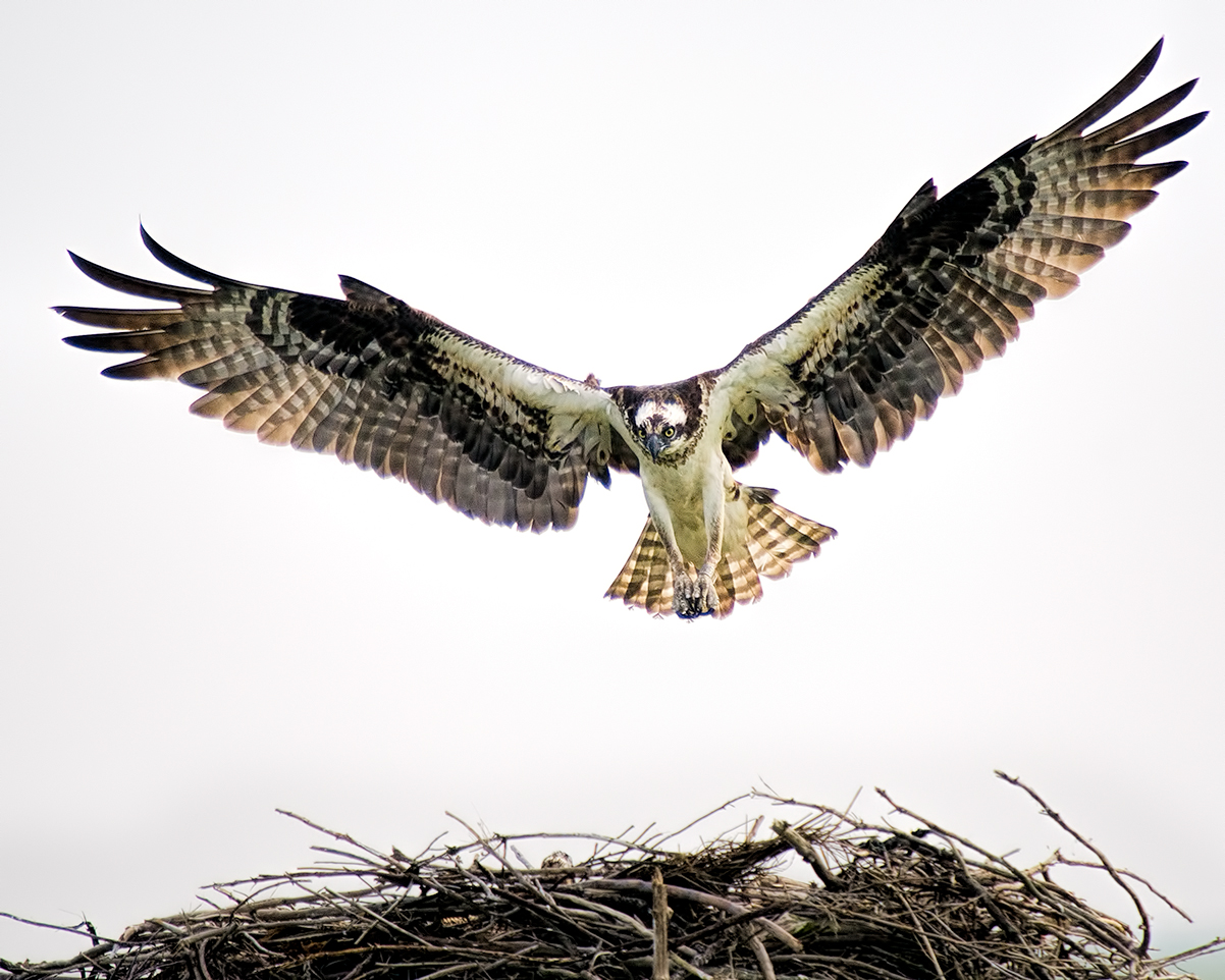 Osprey at Forsythe National Wildlife Refuge