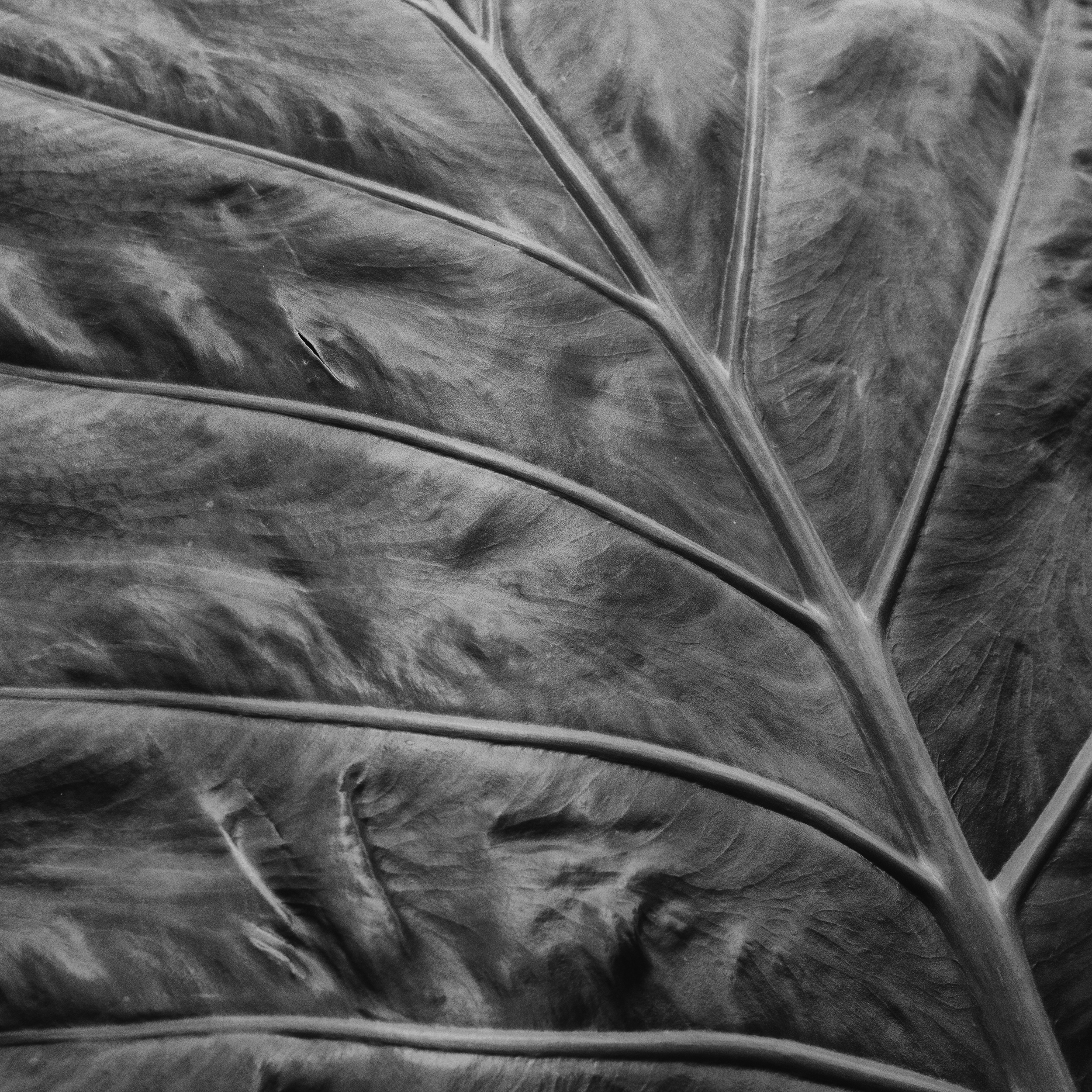 Leaf study.  Allentown Rose Garden.