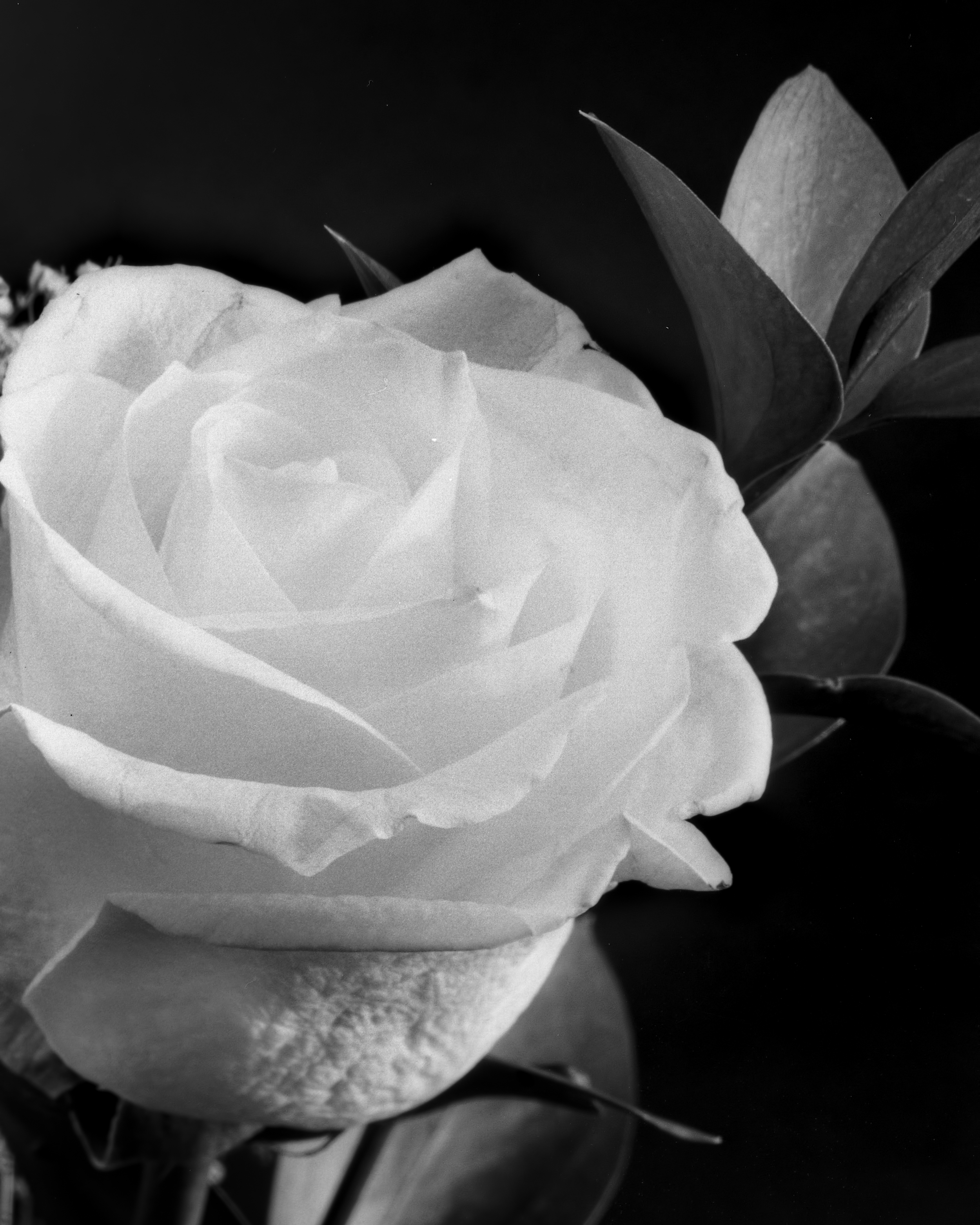 White Rose, Large format 4x5 film