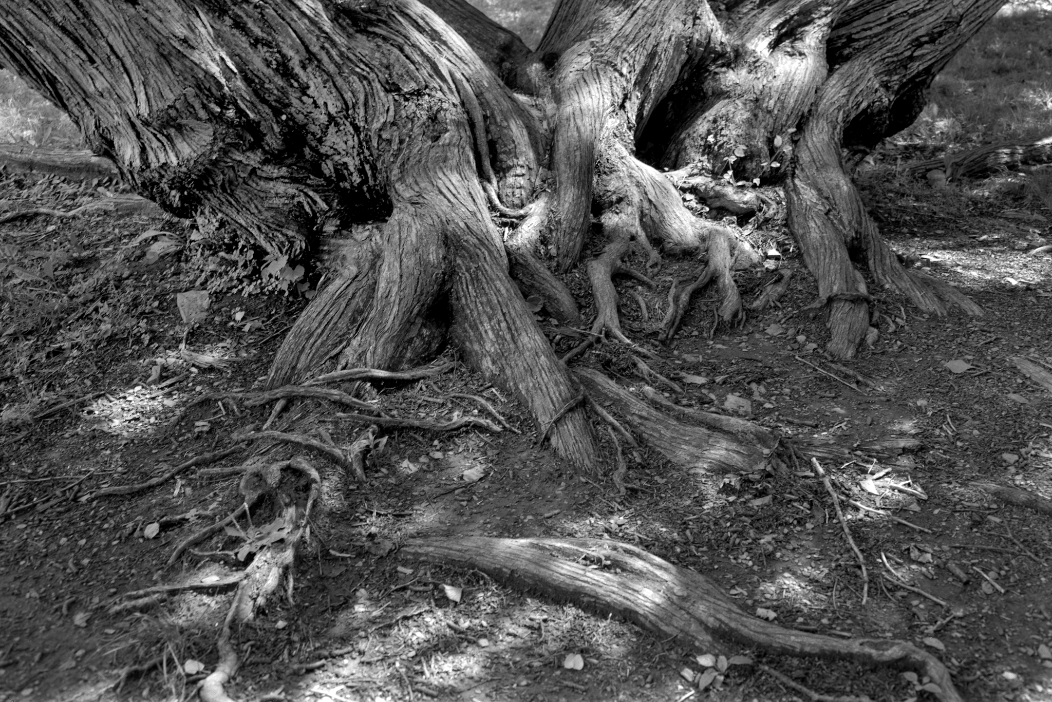 4x5_for_365_project_0188_Reading_Museum_tree_roots.png