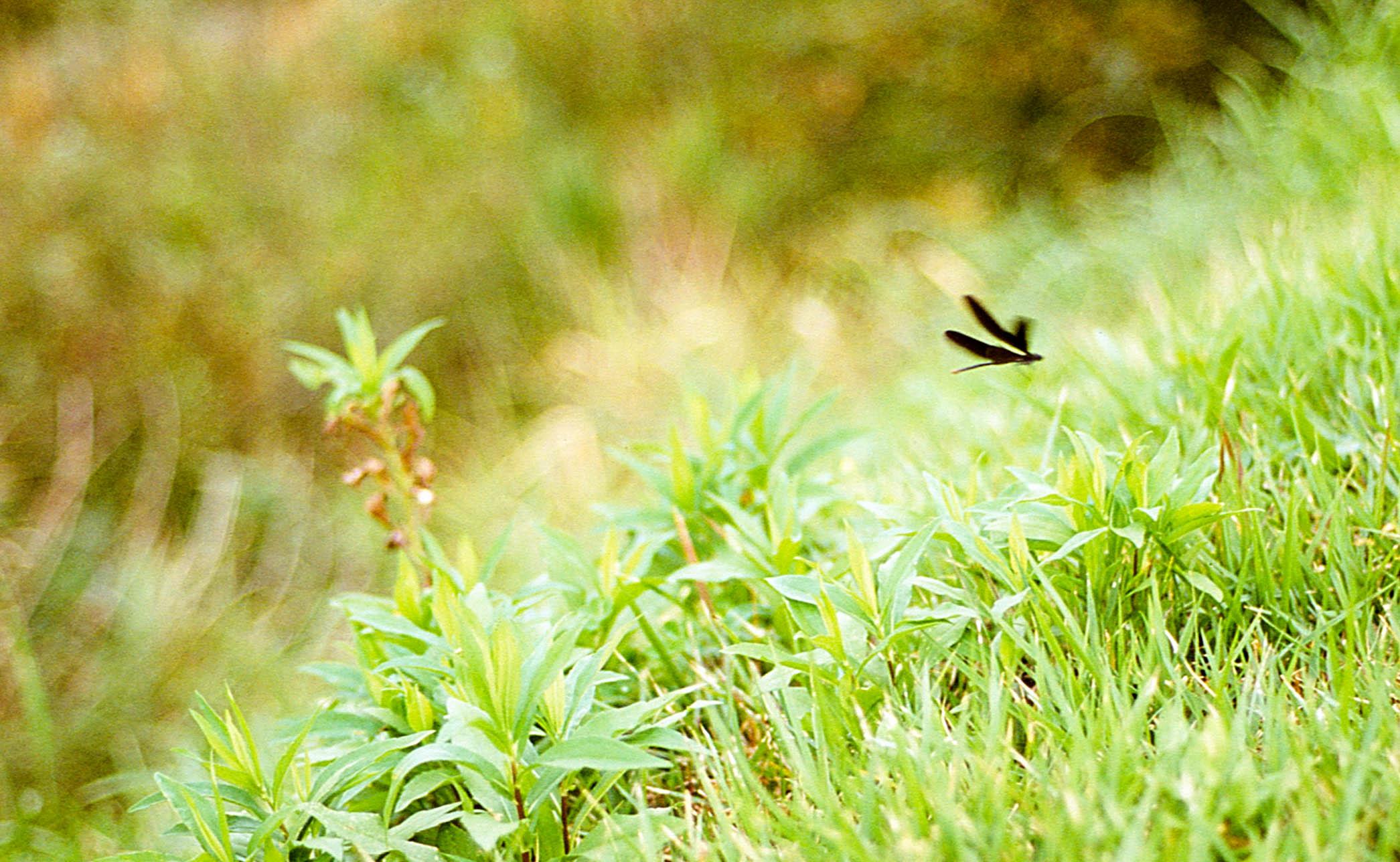 「羽黑蜻蛉」
