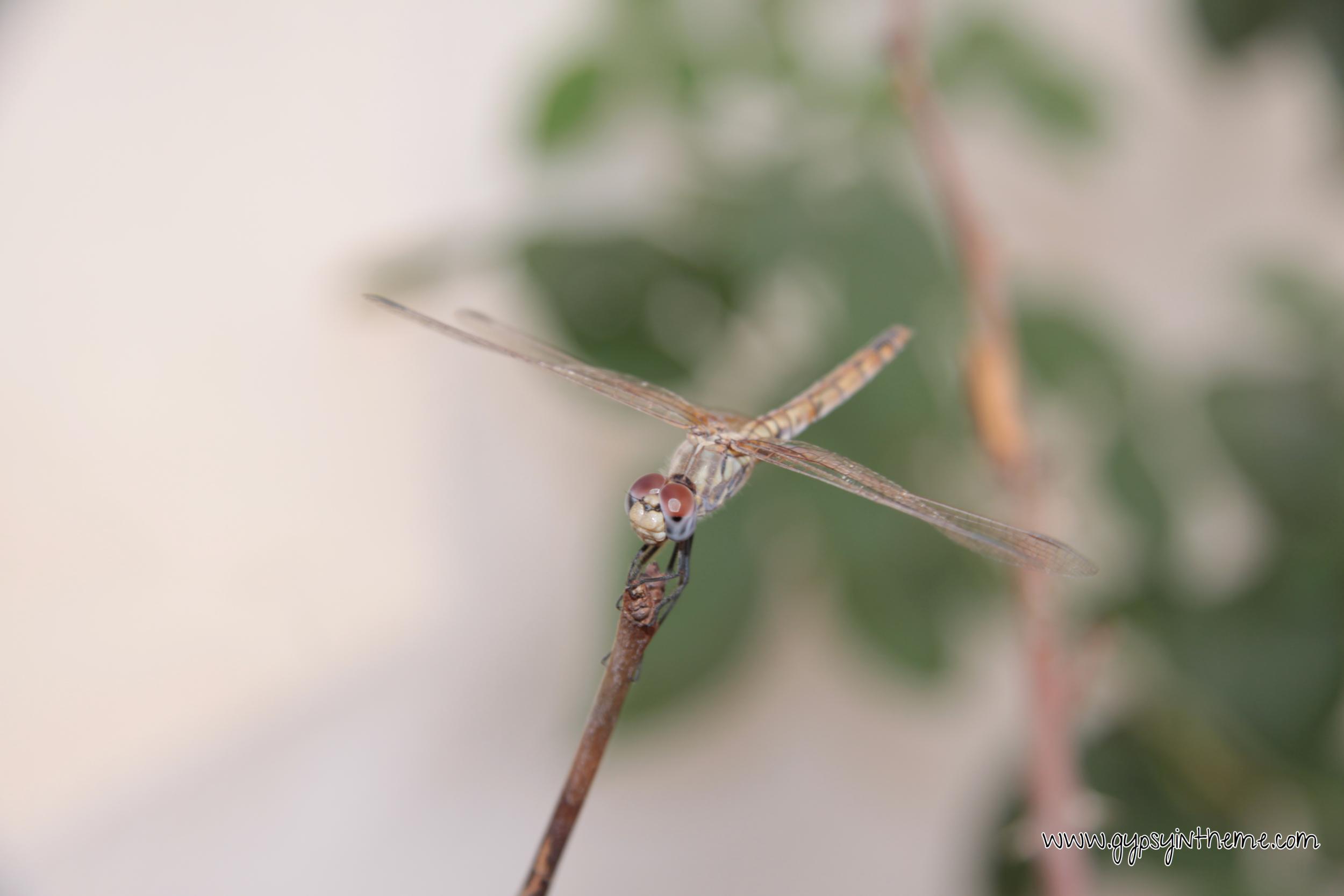 Doha Dragonfly.