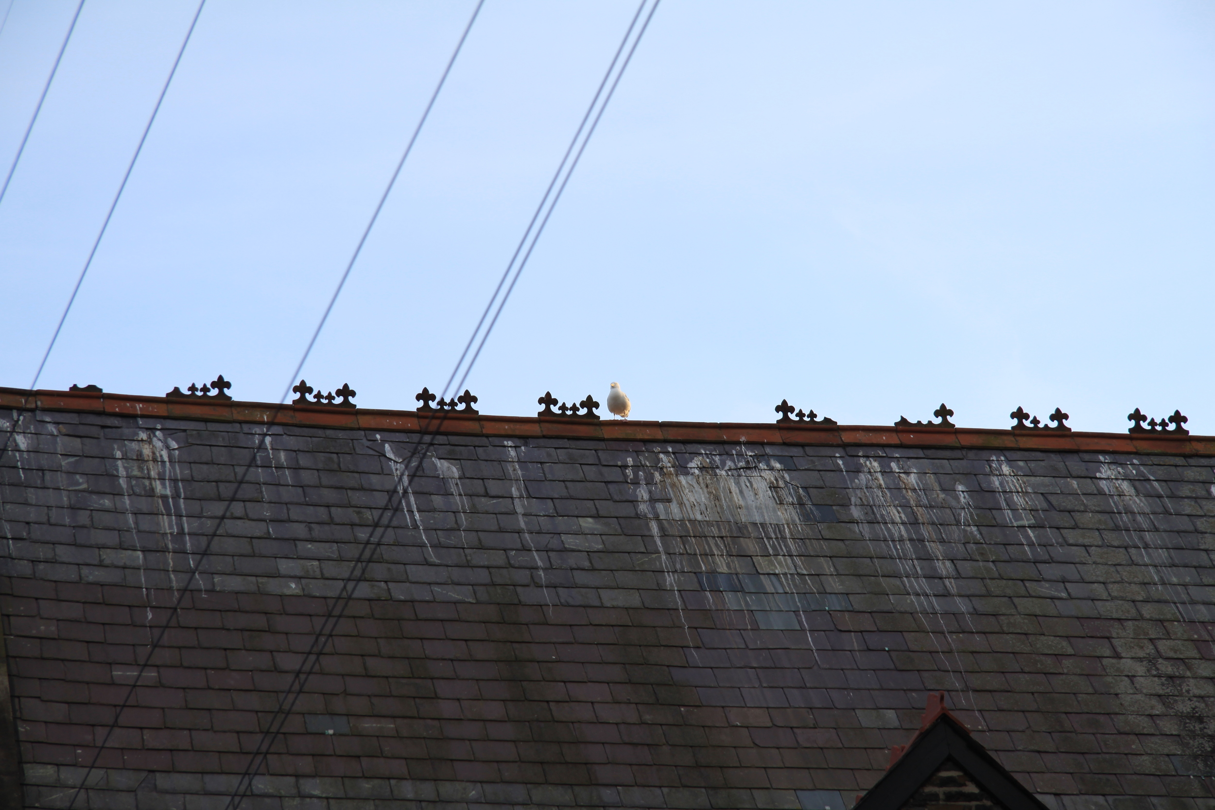Only one lone gull standing guard over the 'courtyard' ... but the poo on the roof gives credence to the fact that the flock was not far behind ....