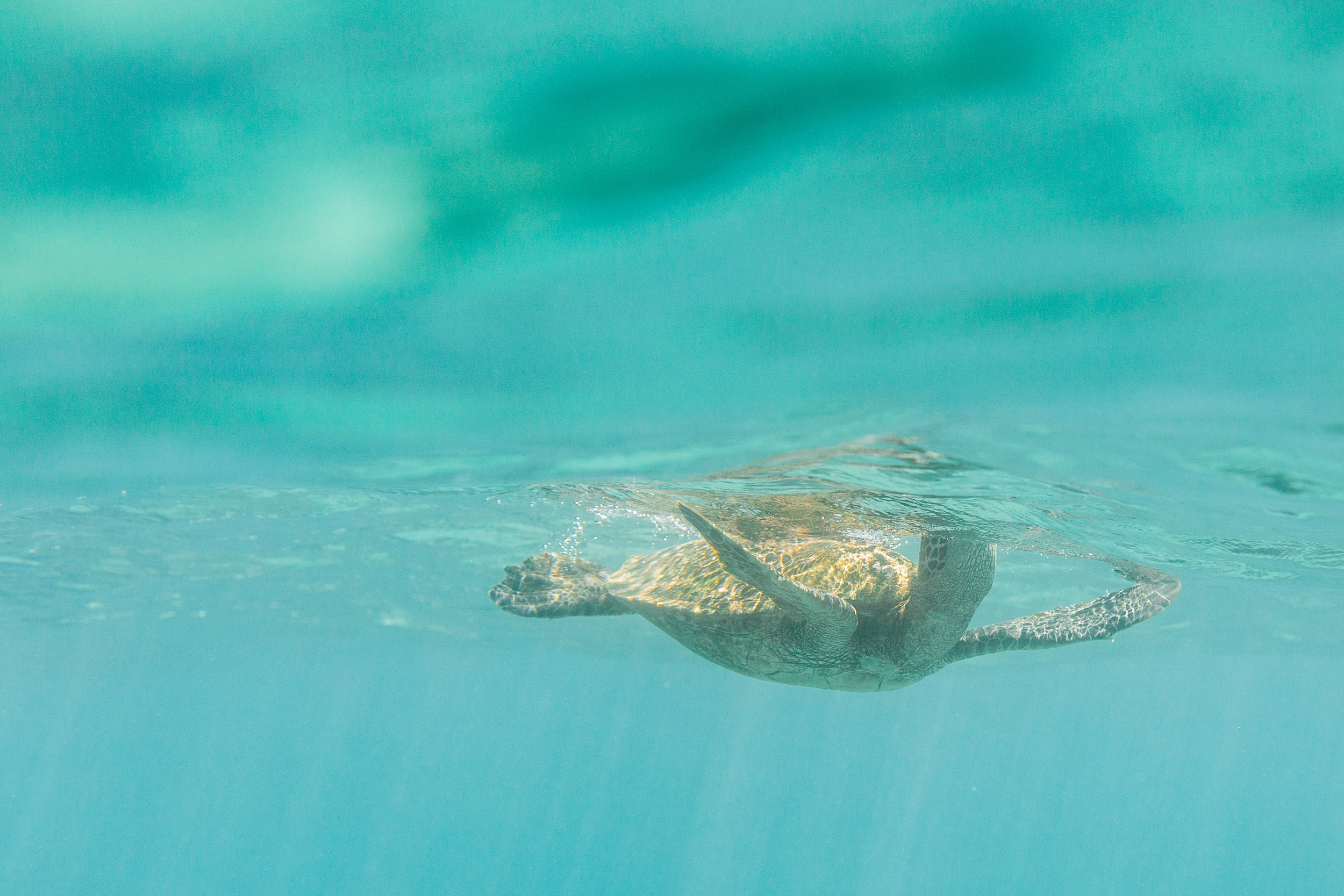 Hawaii-Kailee-DiMeglio-Photography-sea-turtle-7346.jpg