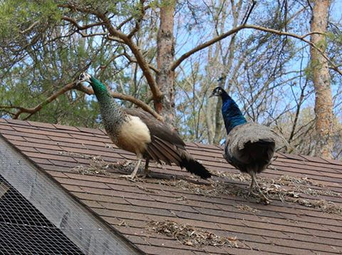Peafowl chillin' out
