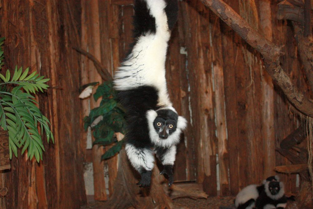 The lemurs are excited