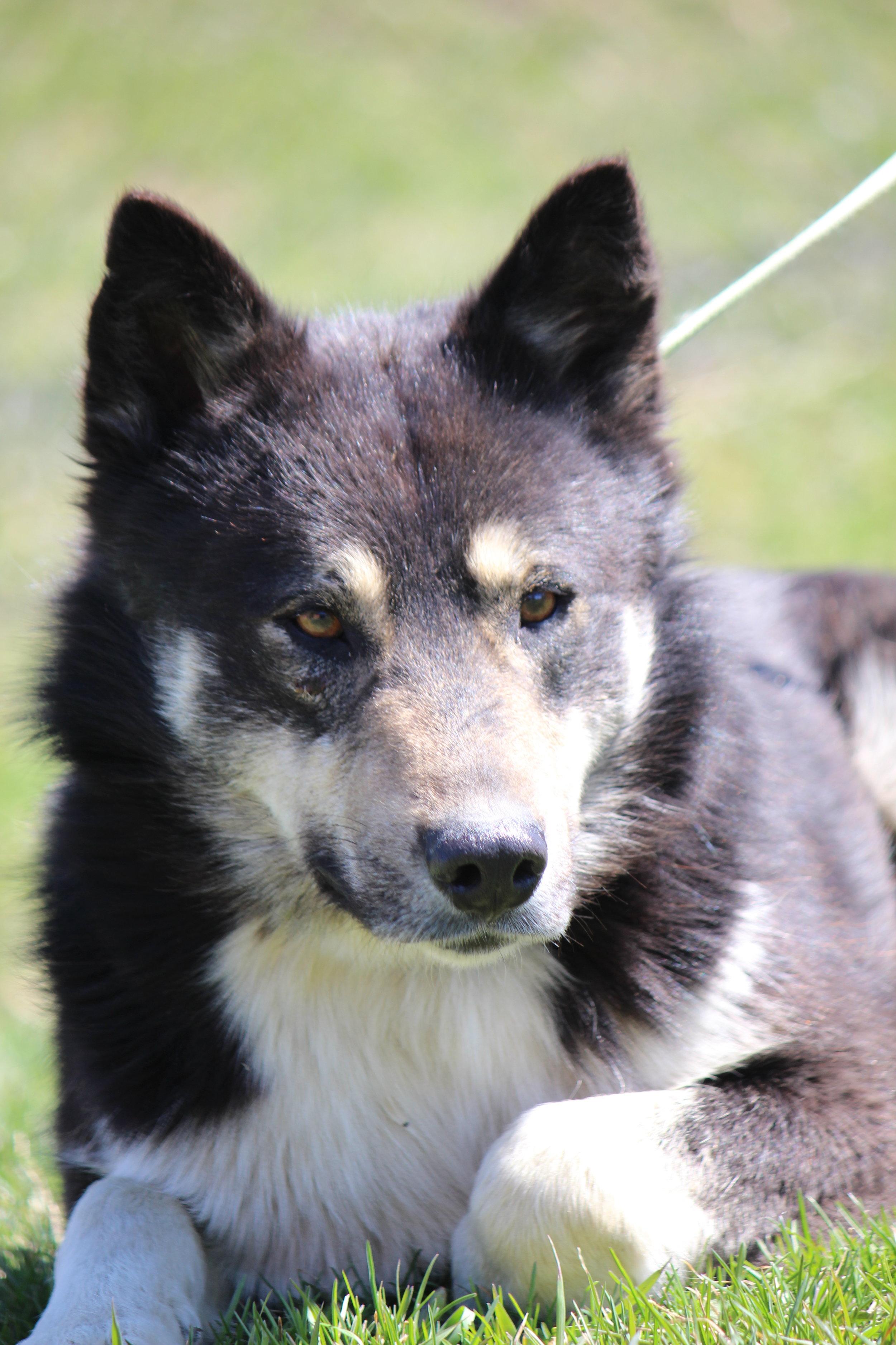 Northern dog named Ichabod
