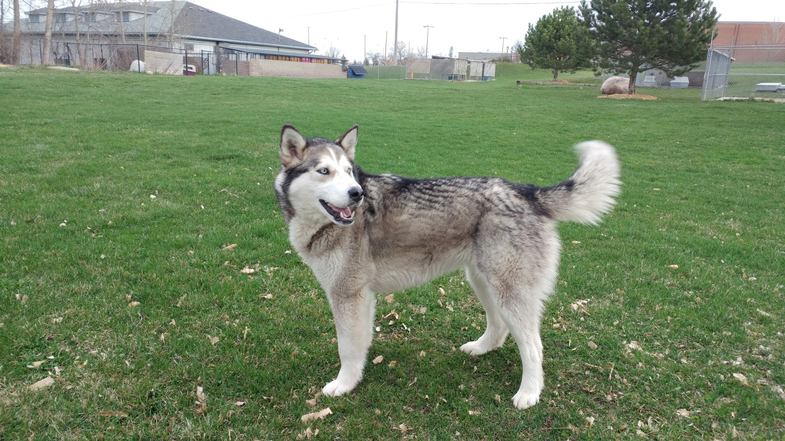 Northern dog named Jewel