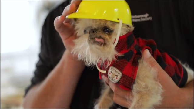 """Owen the Griff has put his hard hat (and plaid) on and is ready to get to work to help raise awareness around PHS """"Our Pet Project"""" campaign"""