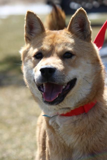 Korean pup