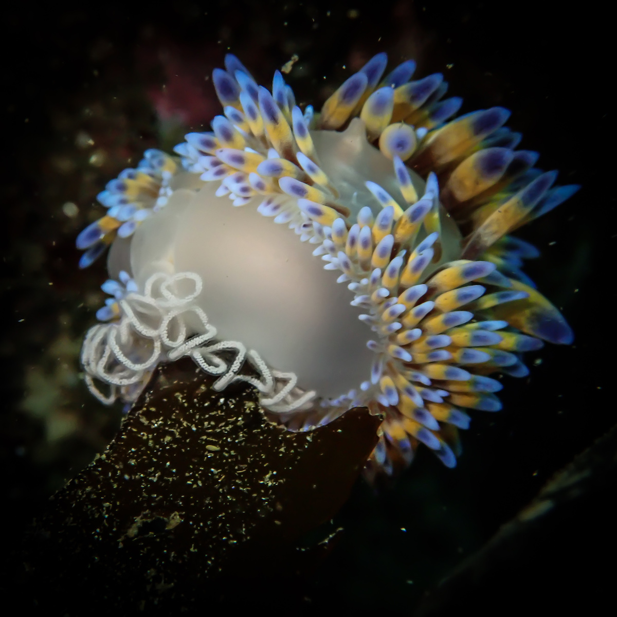Gasflame nudibranch laying eggs  - Photo credit Keri Muller www.simpleintrigue.com
