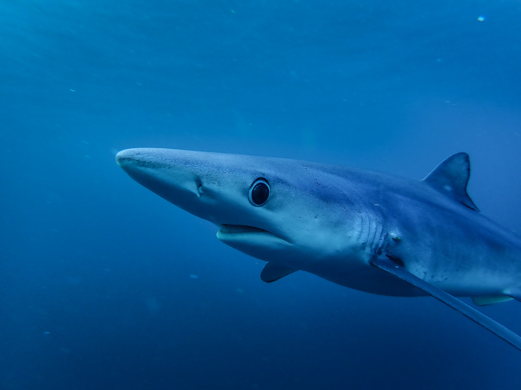 Blue shark - Photo credit Keri Muller www.simpleintrigue.com