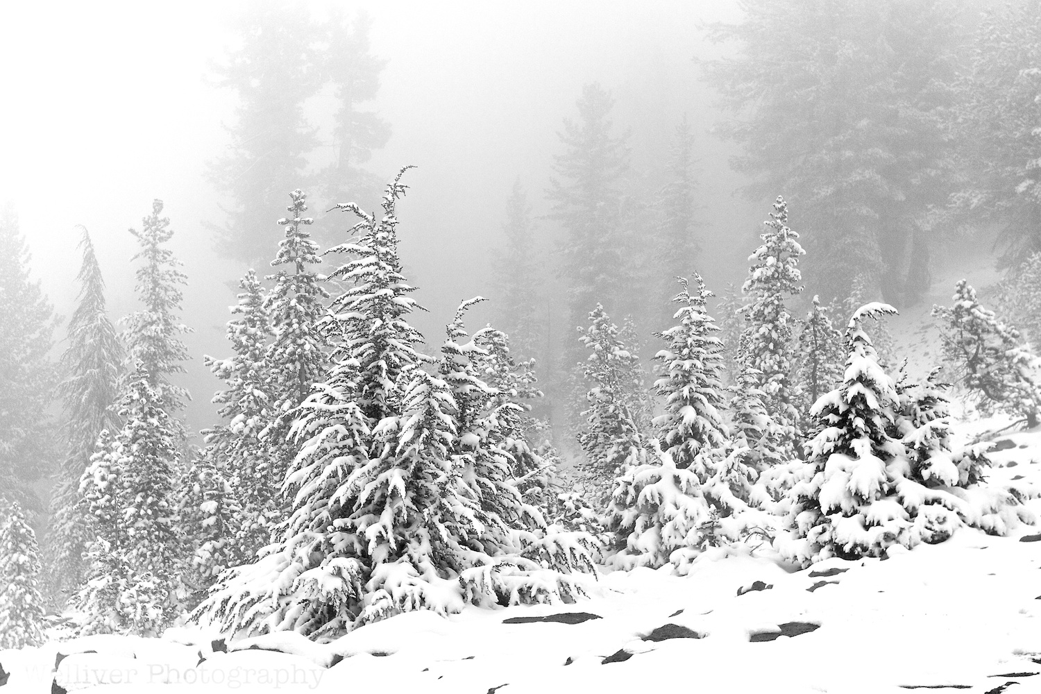 Kaiser Wilderness: Snowy Trees by Terry.