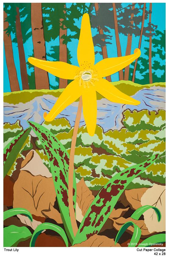 Trout Lily (2015)