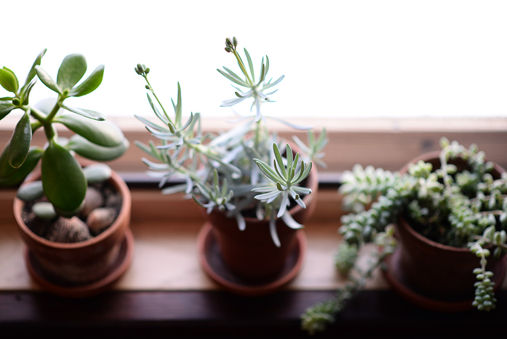 My little studio plants. The middle one is about to bloom!