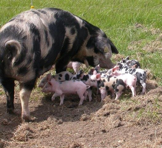 Er du bange for MRSA i svinekød