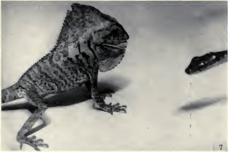 """(image from """"Behavior of the lizard Corythophanes cristatus"""" by Delbert Dwight, 1953)"""