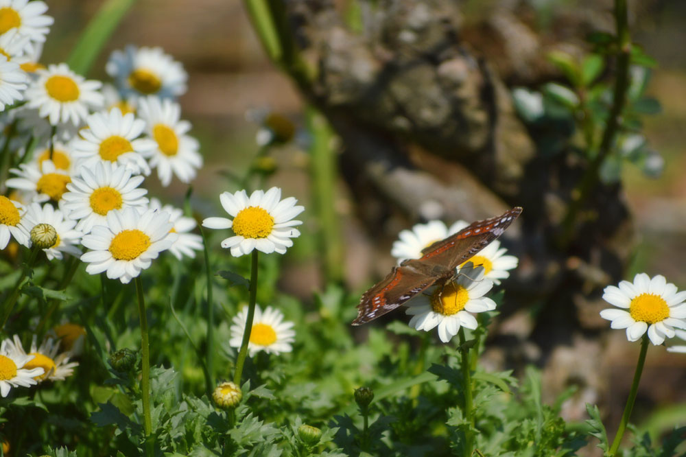 butterfly-on-daisy.jpg