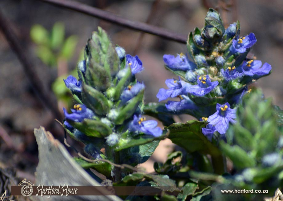 KZN Midlands Spring Flowers 12