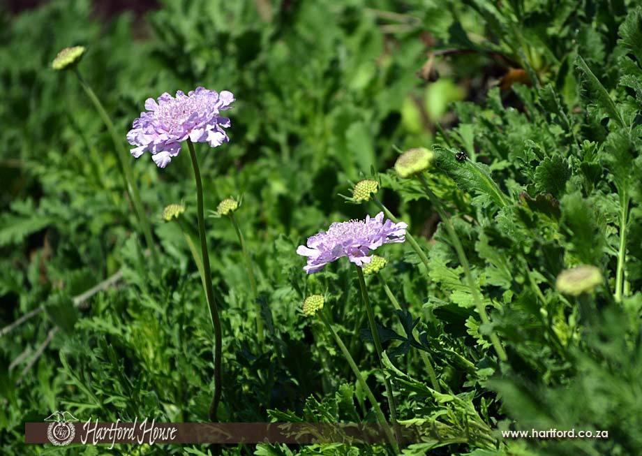 KZN Midlands Spring Flowers 21