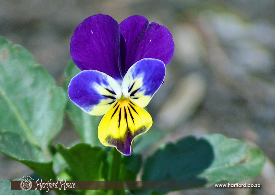 KZN Midlands Spring Flowers 23