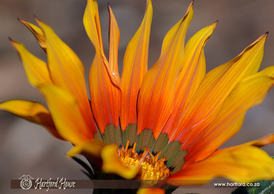 KZN Midlands Spring Flowers 25