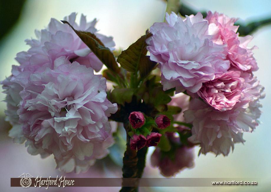 KZN Midlands Spring Flowers 2
