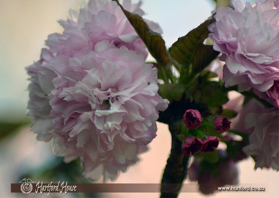 KZN Midlands Spring Flowers 1