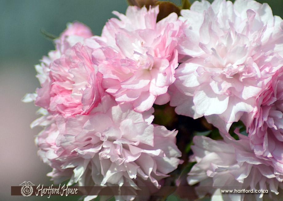 KZN Midlands Spring Flowers 3