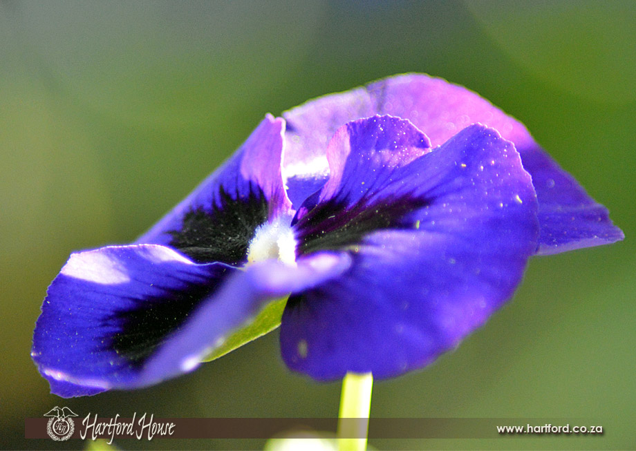 KZN Midlands Spring Flowers 4