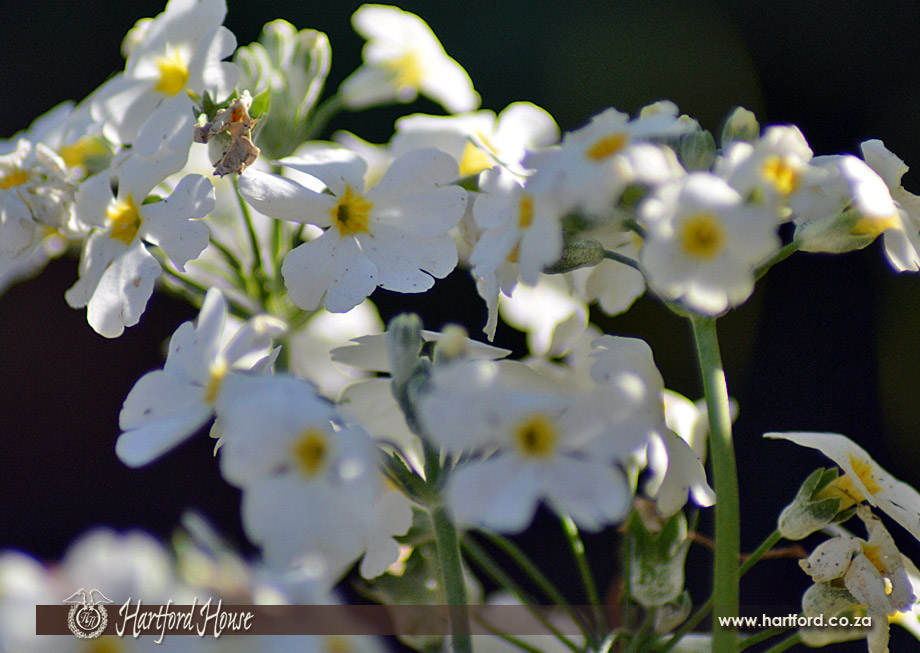KZN Midlands Spring Flowers 5