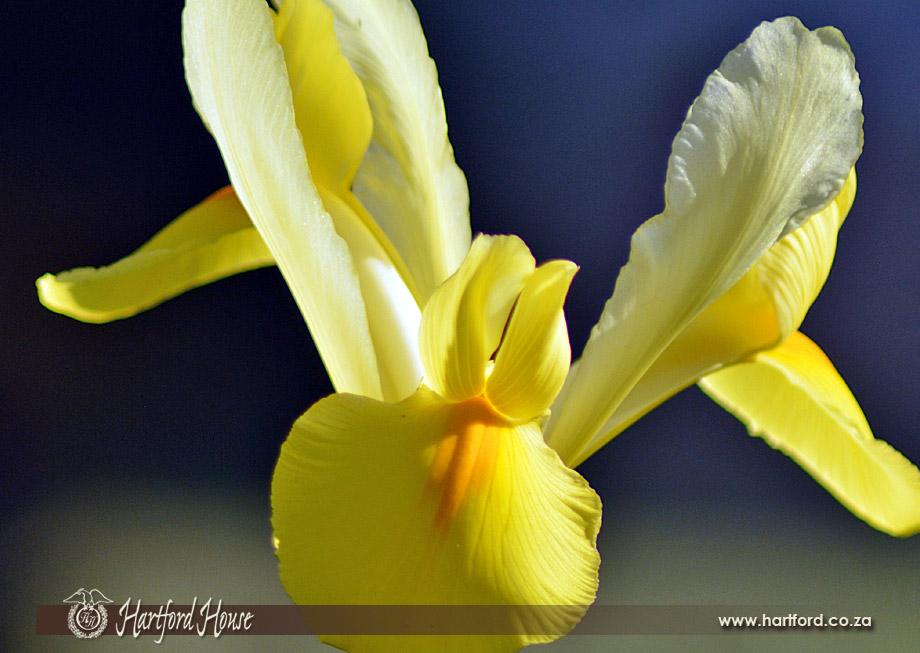 KZN Midlands Spring Flowers 7