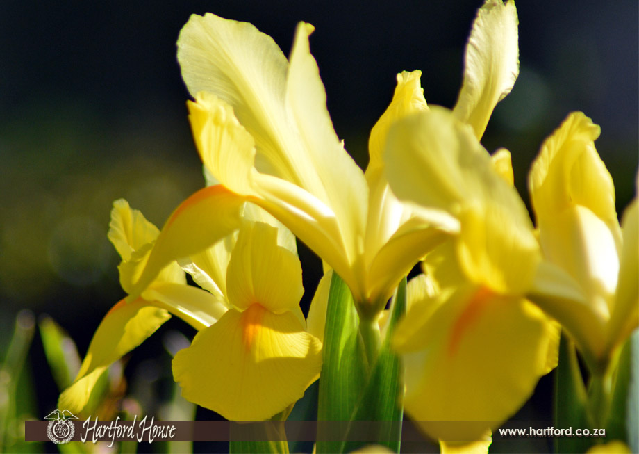 KZN Midlands Spring Flowers 8