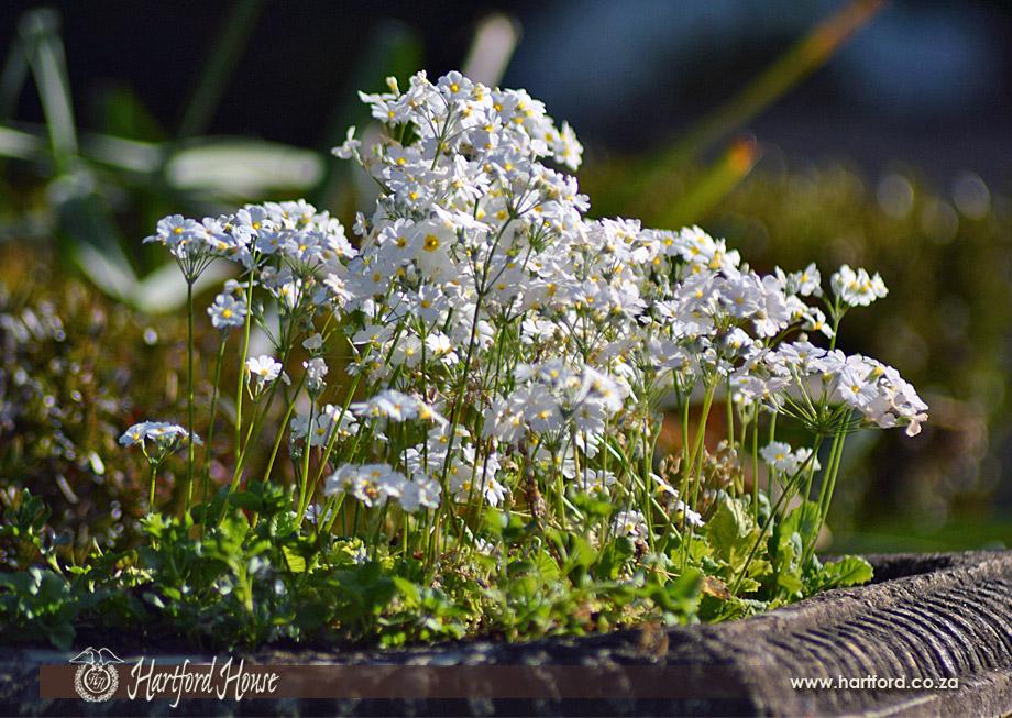 KZN Midlands Spring Flowers 11