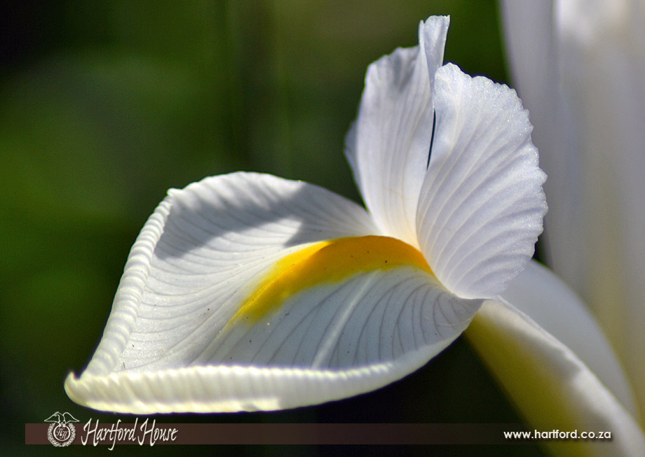 KZN Midlands Spring Flowers 13
