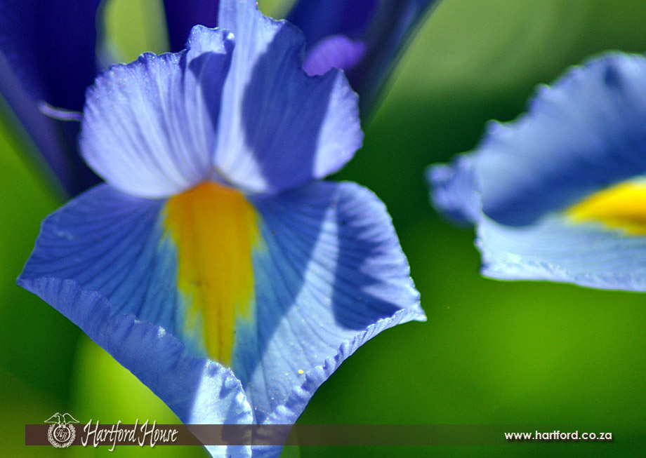 KZN Midlands Spring Flowers 14