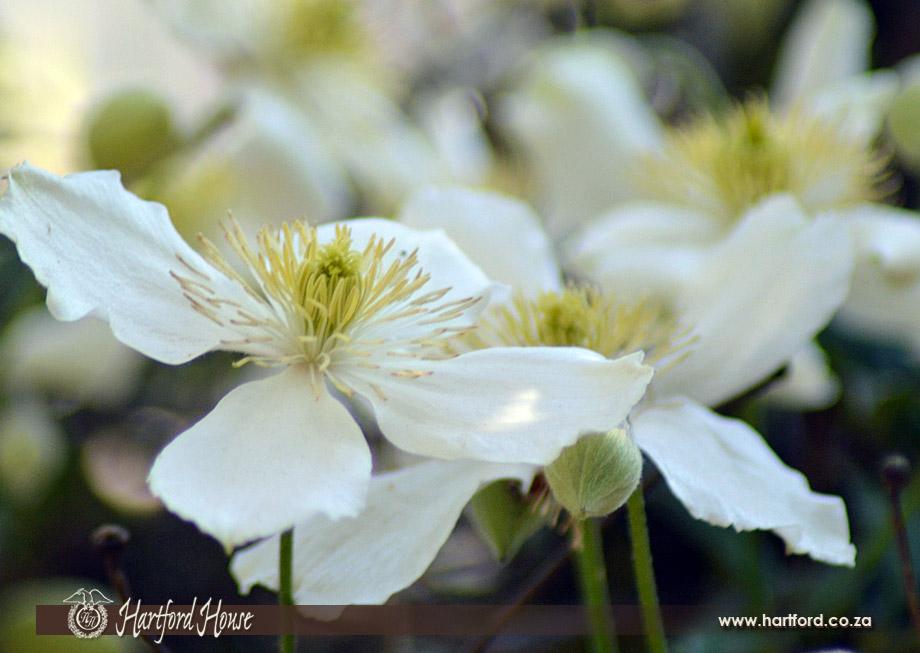 KZN Midlands Spring Flowers 24