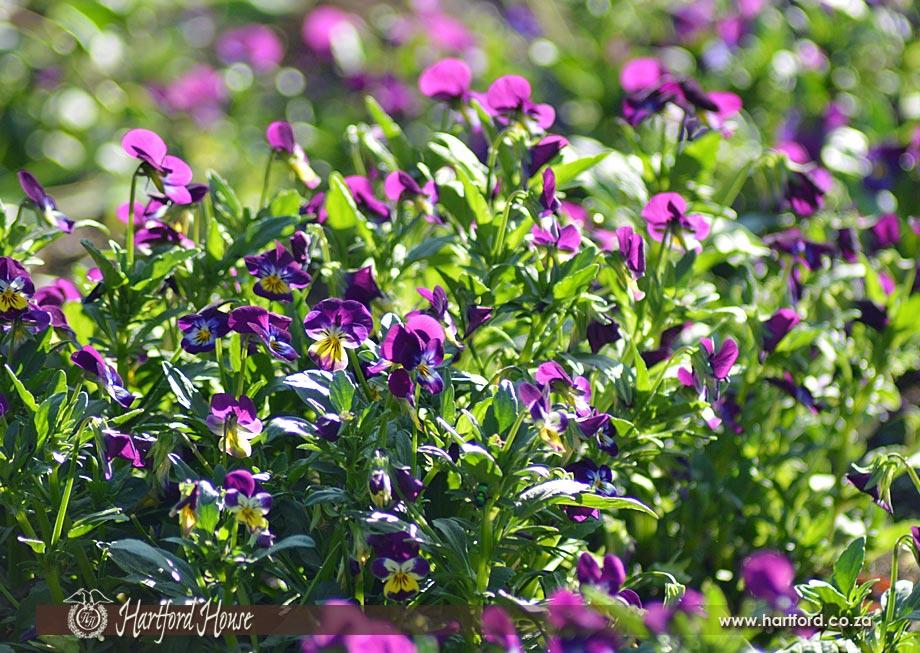 KZN Midlands Spring Flowers 25