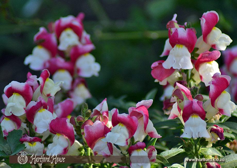 KZN Midlands Spring Flowers 27