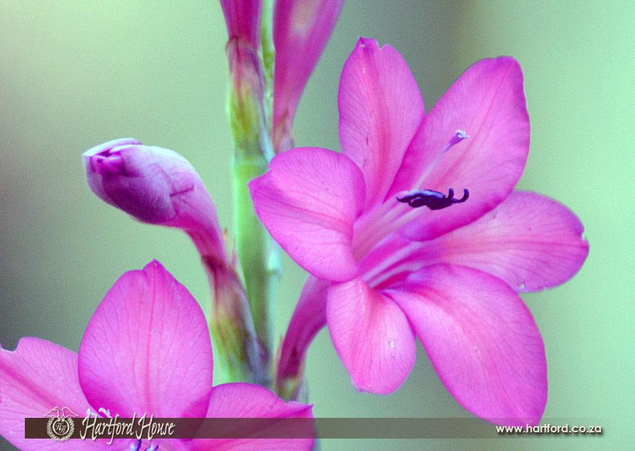 KZN Midlands Spring Flowers 28