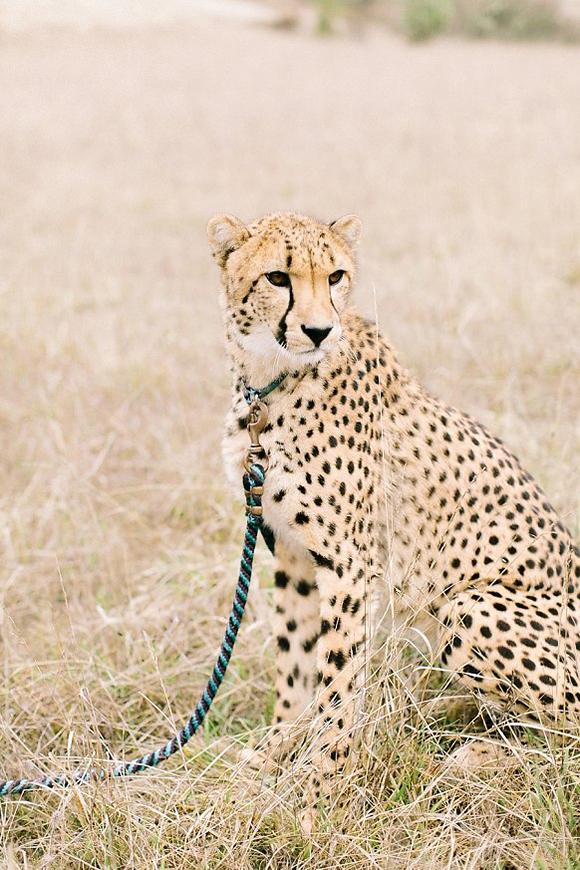 Safari Styled Wedding Cheetah / Eva Moon Press