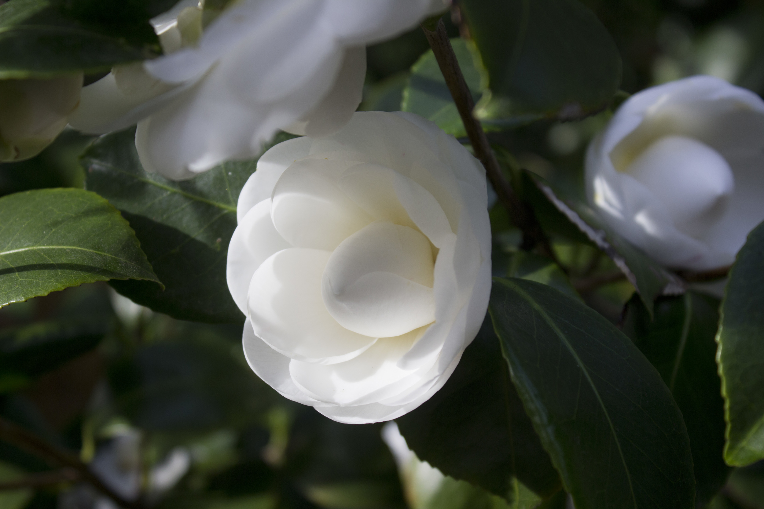 White Camellia / Eva Moon Press