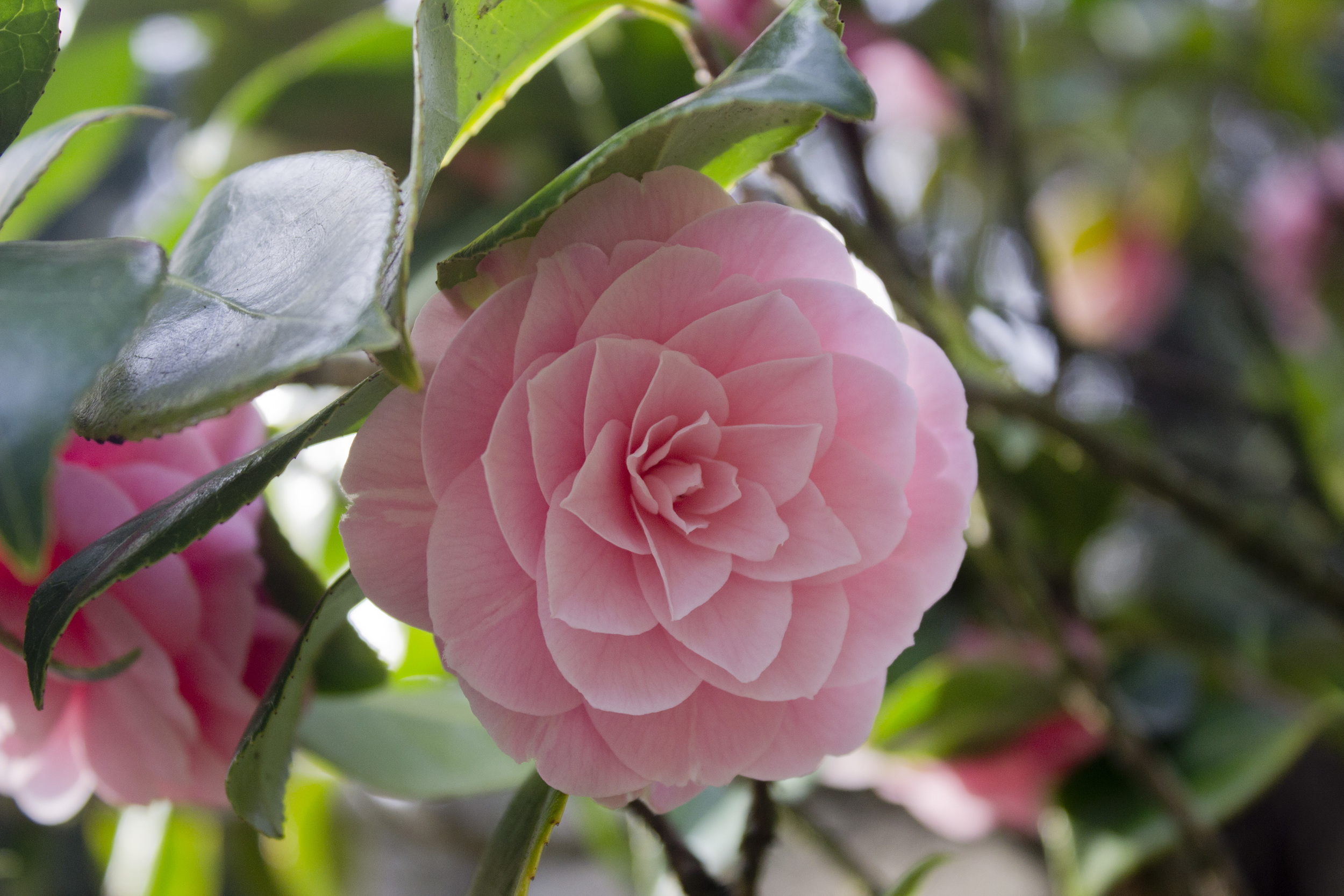 Pink Camellia / Eva Moon Press