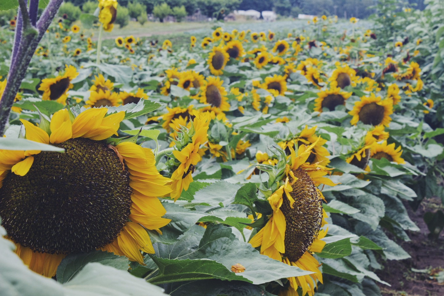 Sunflowers at Sauvie Island Farms by Eva Moon Press
