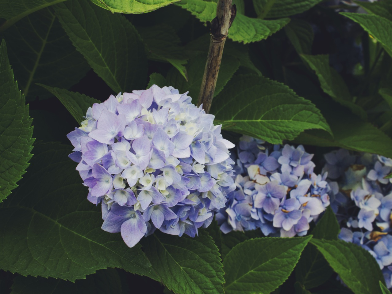 Blue Hydrangea at Sauvie Island Farms by Eva Moon Press