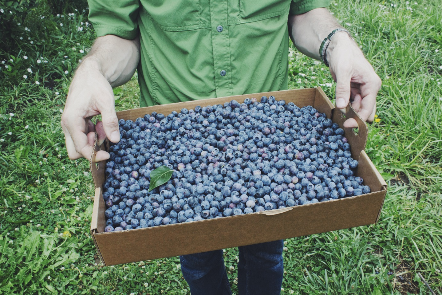 Blueberry picking at Sauvie Island Farms by Eva Moon Press