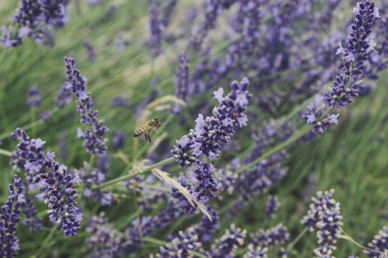 Sauvie Island Lavender Farm by Eva Moon Press